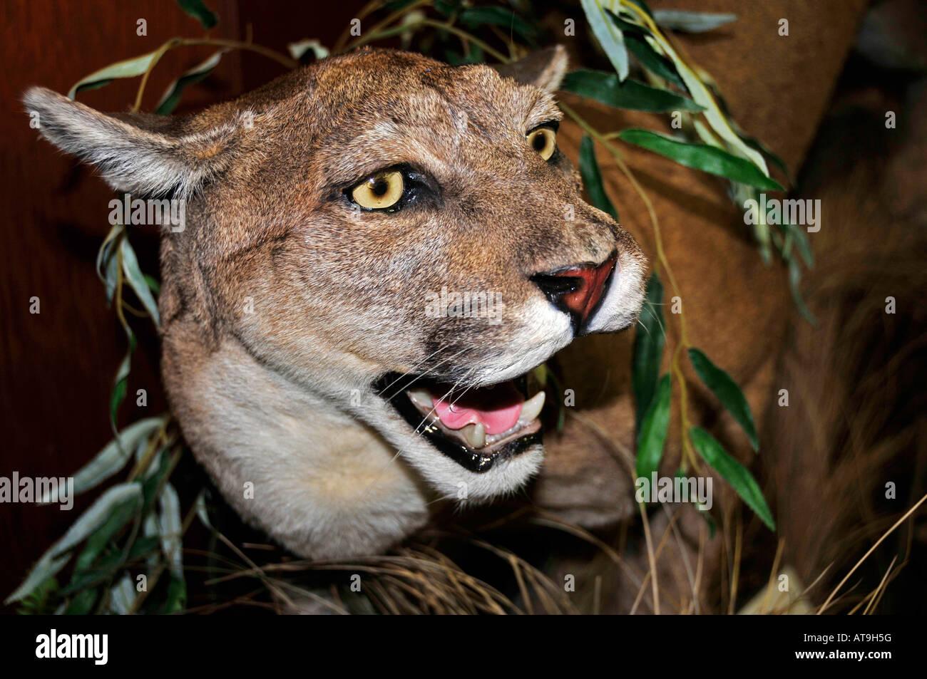 Florida Panther at Everglades Wonder Gardens Bonita Springs Florida ...