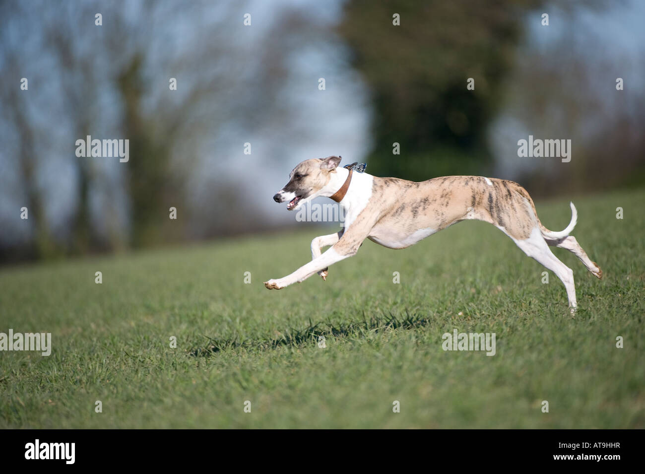 Whippet Stock Photos Amp Whippet Stock Images Alamy