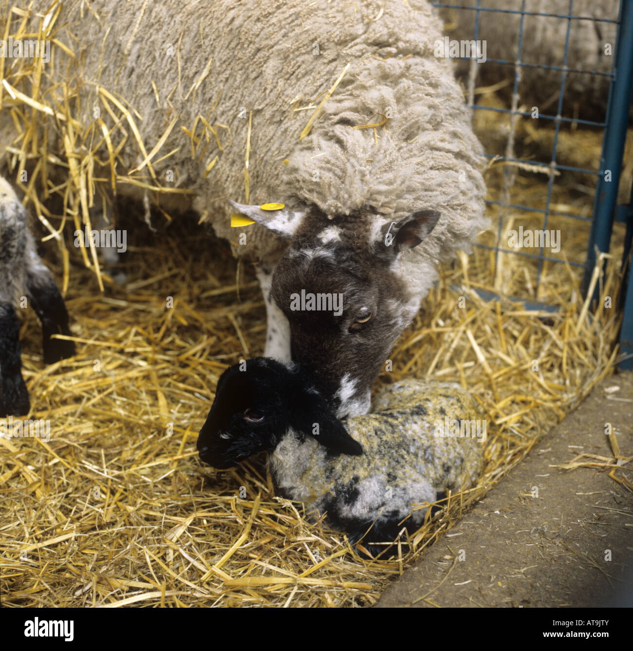 North country mule ewe cleaning her newborn Suffolk cross lamb Herefordshire - Stock Image