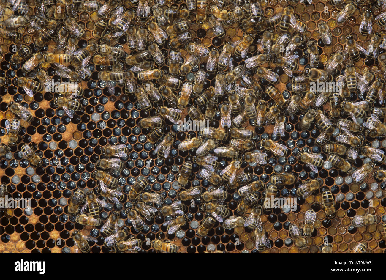 Workers and a few drone honey bees Apis mellifera on brood cells in a hive - Stock Image