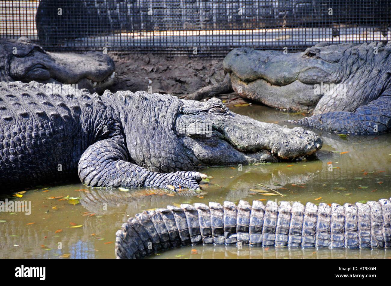 Alligator At Everglades Wonder Gardens Bonita Springs Florida