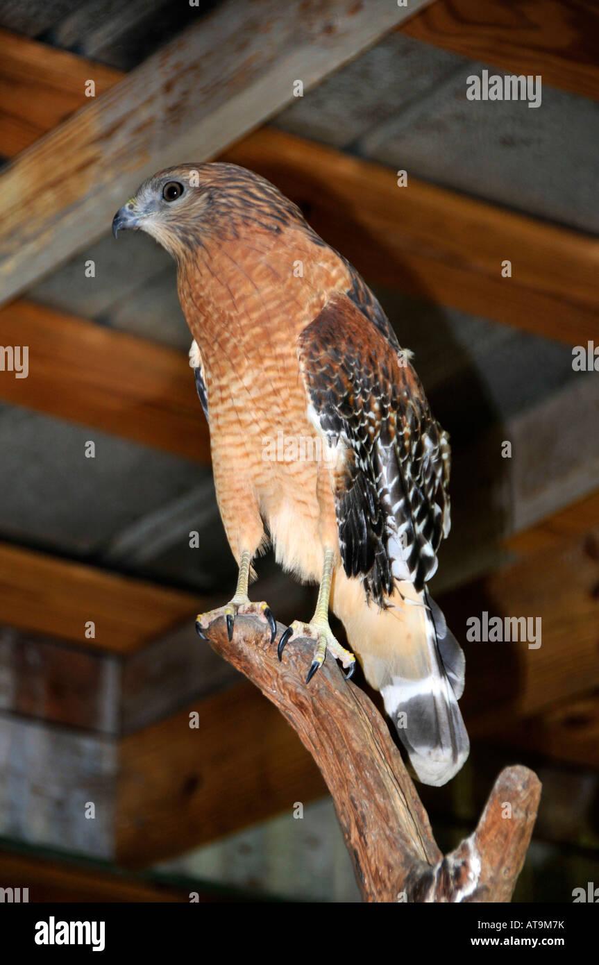 Red tail hawk Everglades Wonder Gardens Bonita Springs Florida Stock ...