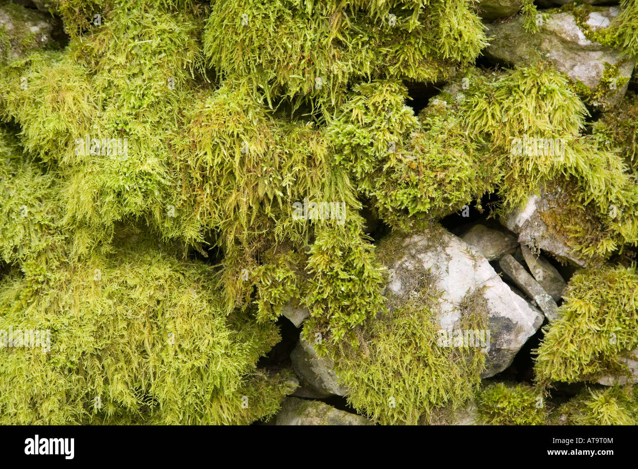 Moss covered wall Cressbrook Derbyshire Peak District - Stock Image