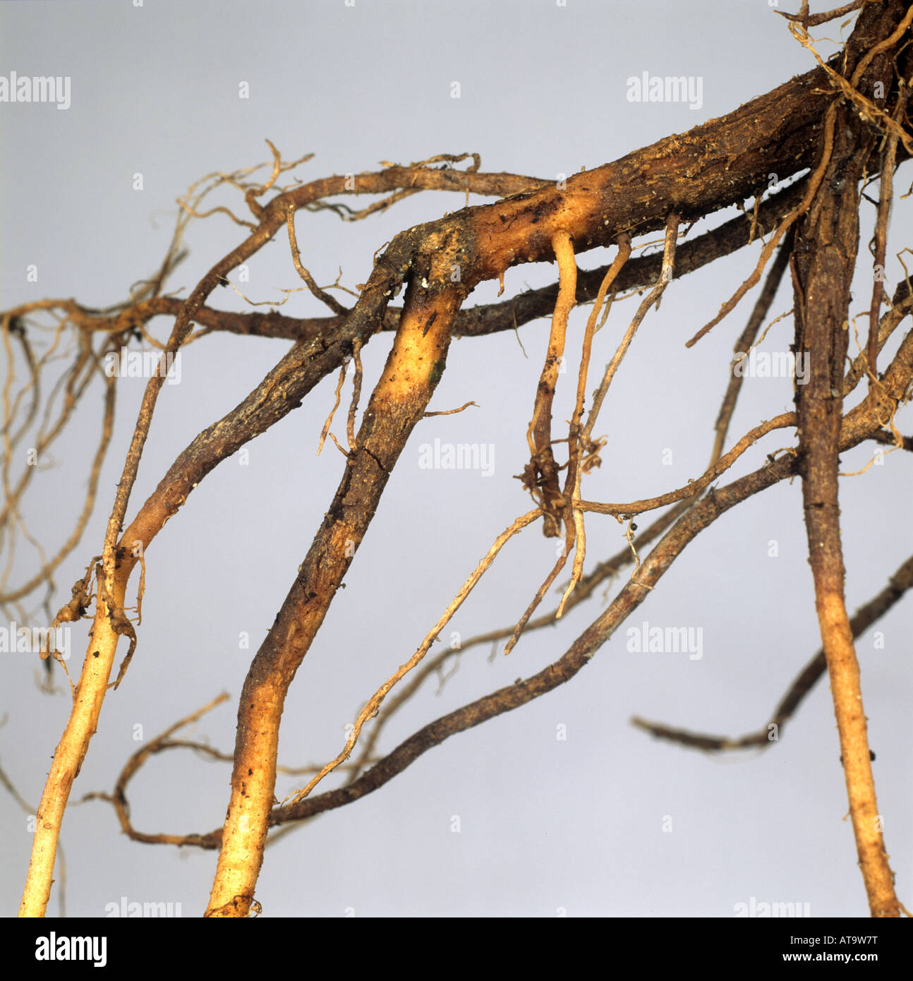 Corky root rot Pyrenochaeta lycopersici damage to an infected tomato root - Stock Image