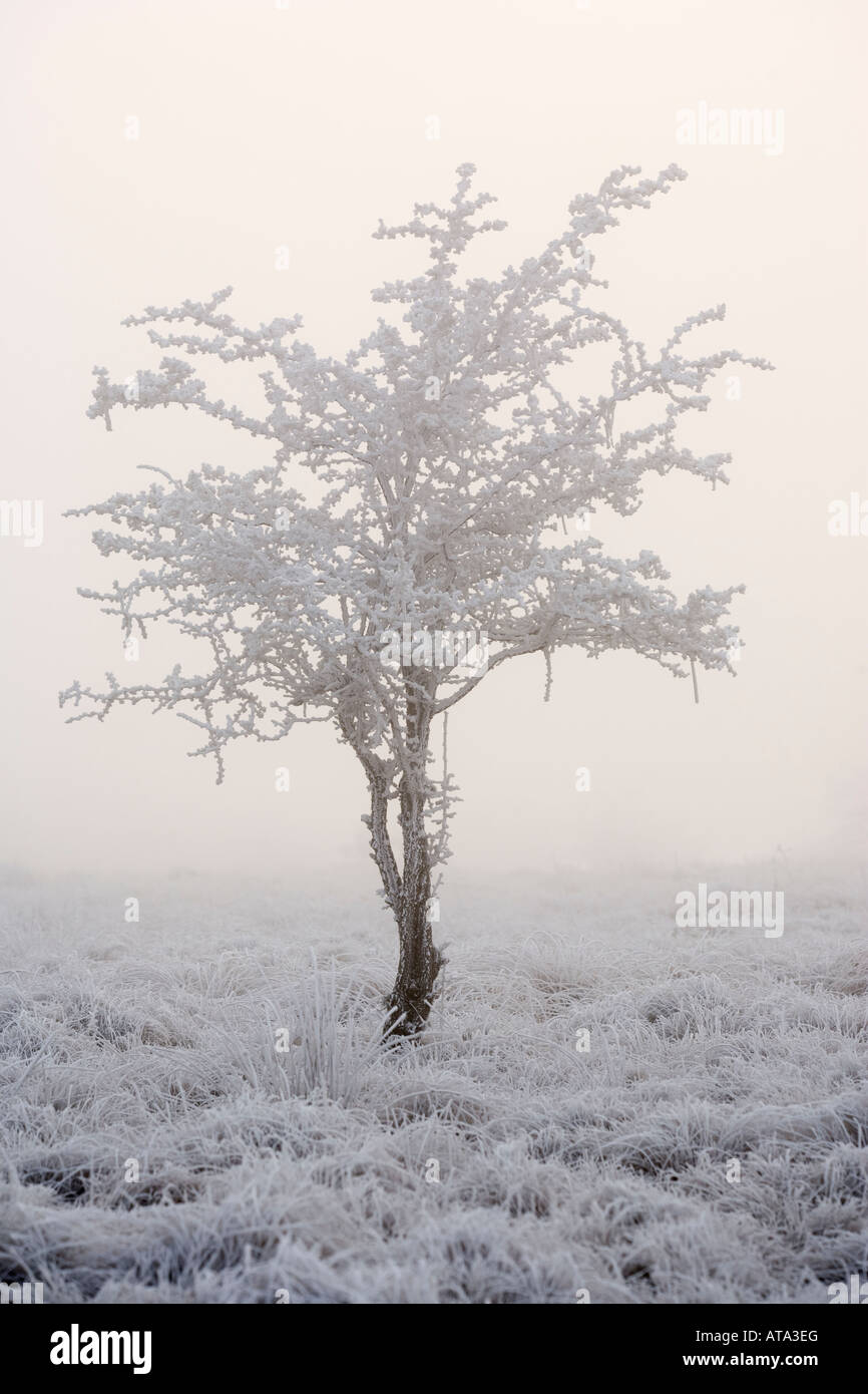 Hawthorn tree covered with hoar frost Big Moor Derbyshire Peak District - Stock Image