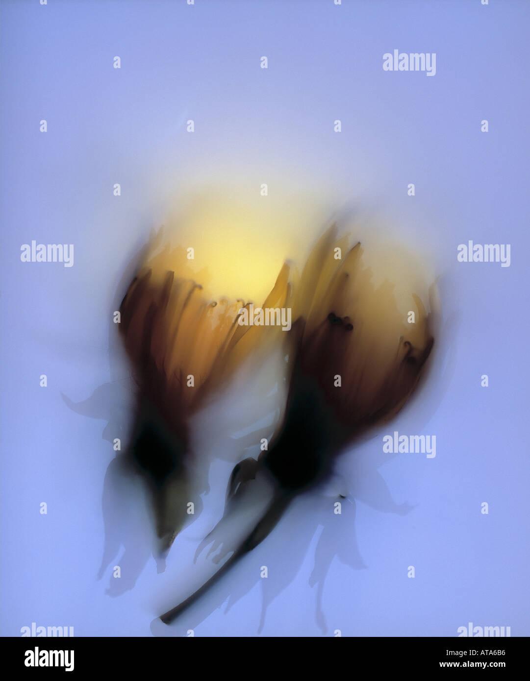 photogram of dandelions - Stock Image