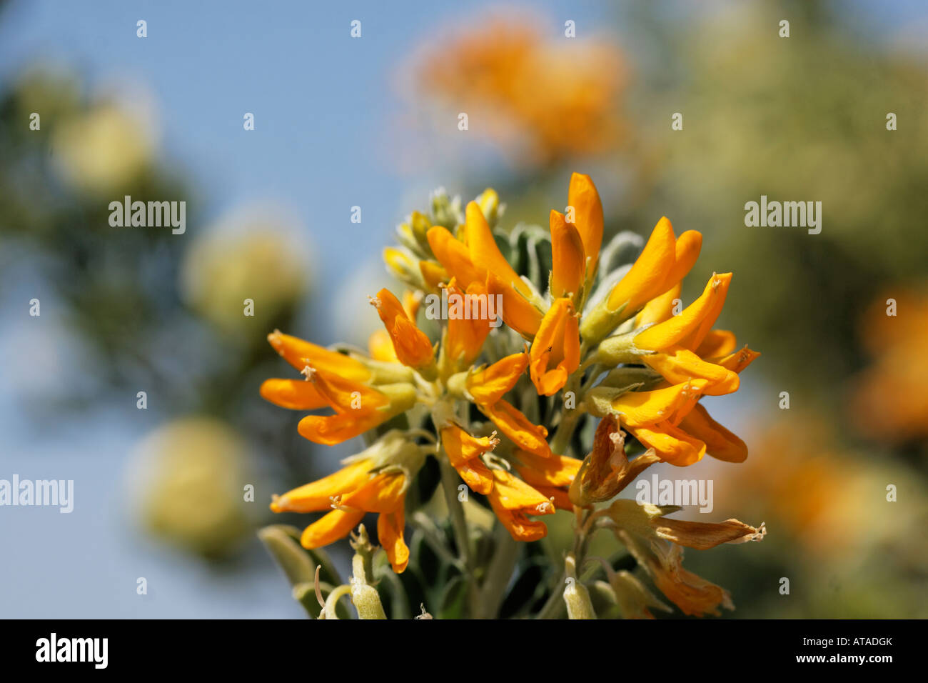 Anagyris foetida, Bean trefoil Stock Photo