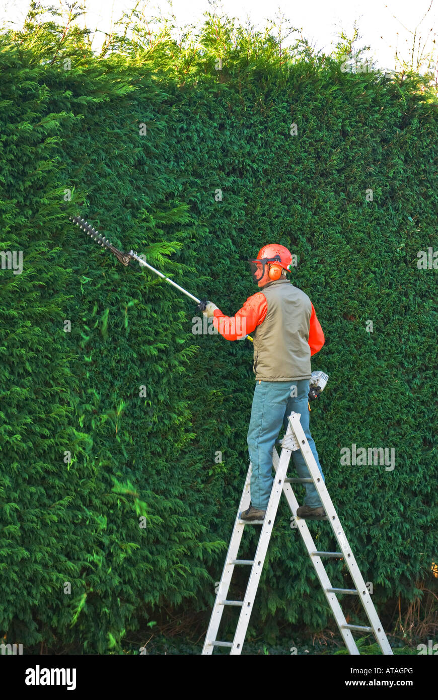 clipping conifer hedge - Stock Image