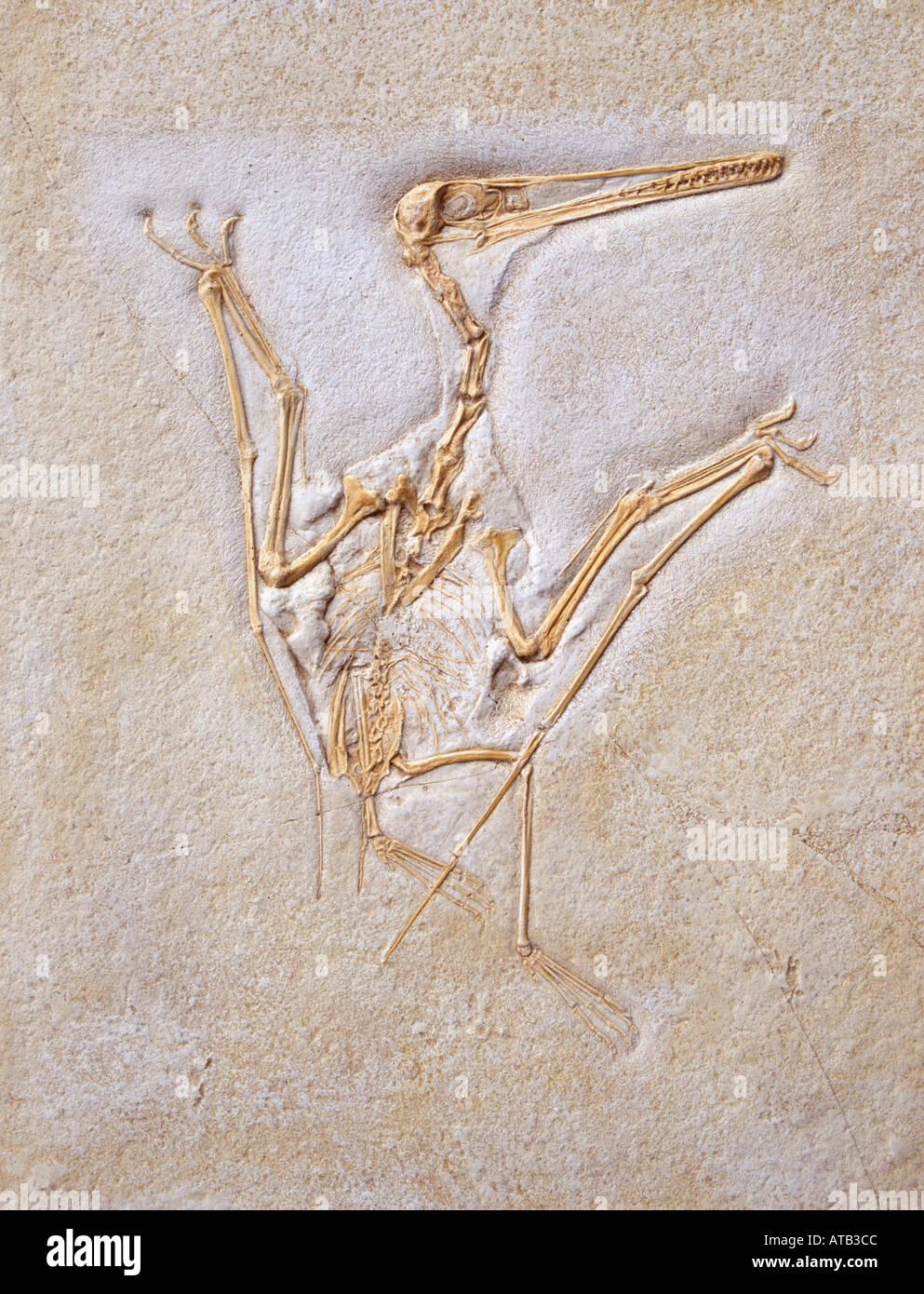 Pterodactylus kochi pterosaur fossil - Stock Image