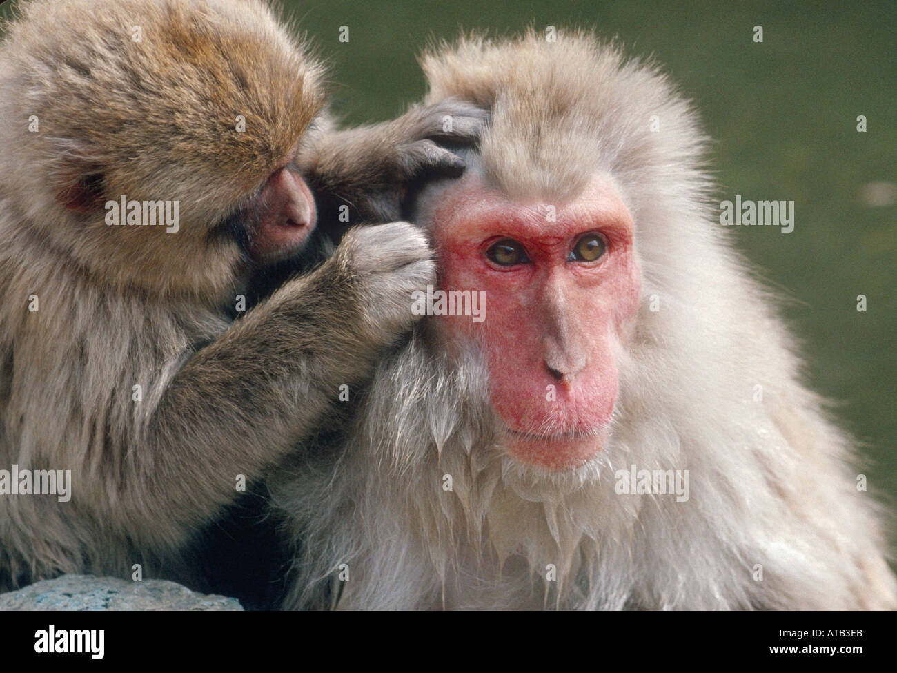 Young Japanese macaque grooming old female - Stock Image