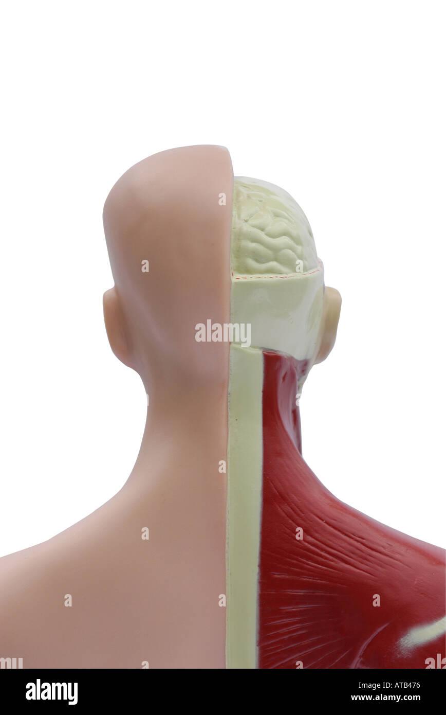 Anatomy 03 - Stock Image