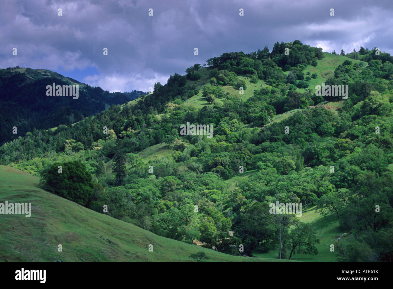 Oak trees and green grass hills in spring near Booneville and the Anderson Valley Mendocino County California - Stock Image