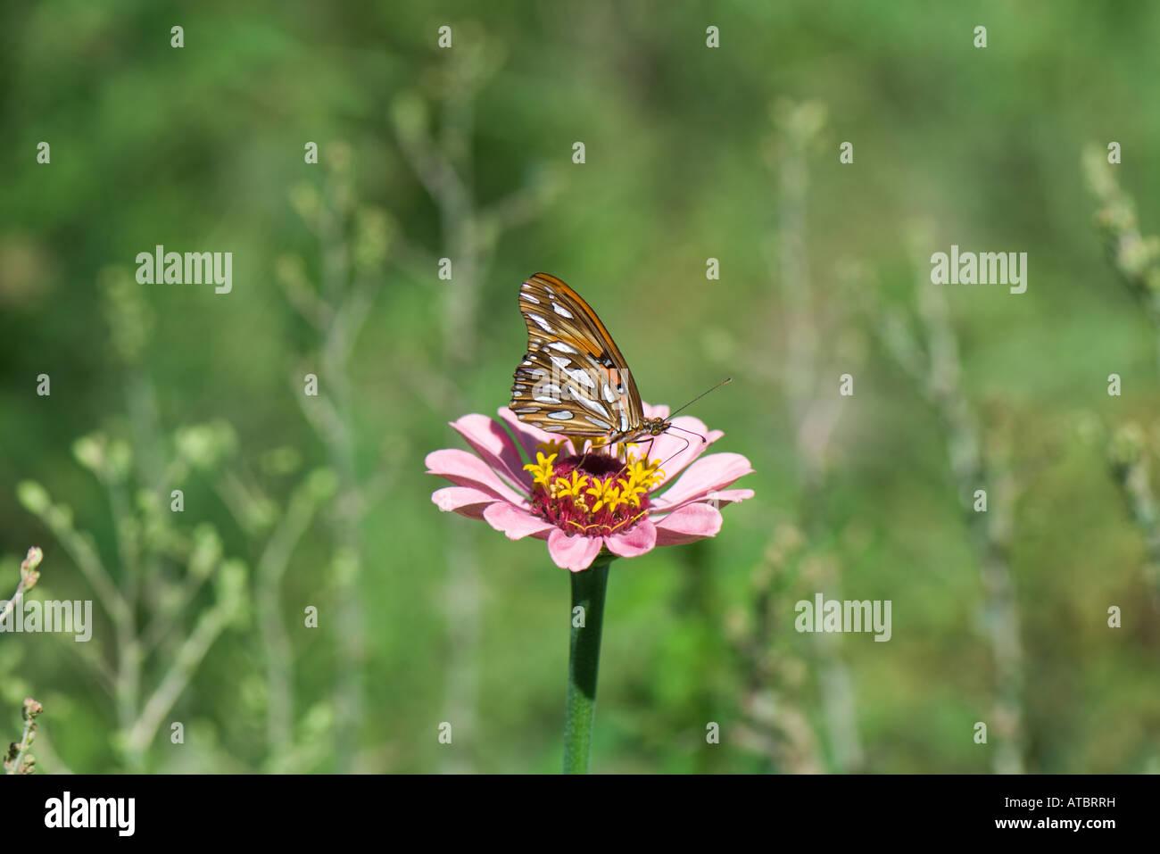 Butterfly on zinnia in field - Stock Image