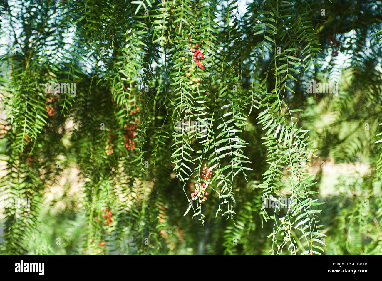 Foliage and red berries - Stock Image