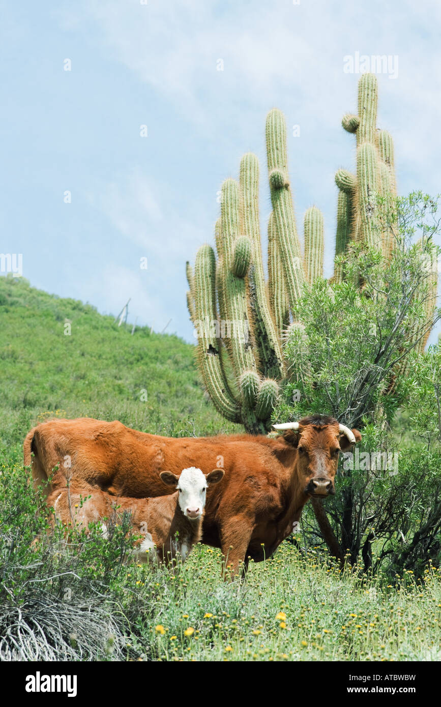 Mother and baby cow in pasture, looking at camera, cactus in background - Stock Image
