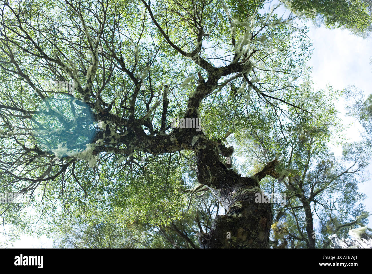 Tree canopy, viewed from directly below - Stock Image