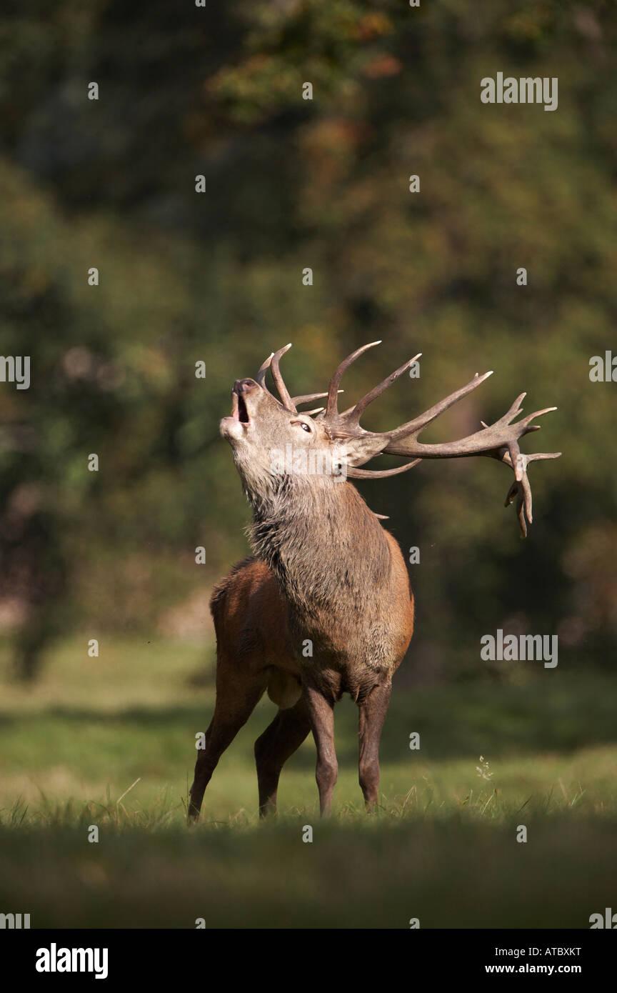 Red Deer Stag calling during the rut (Cervus elaphus) - Stock Image