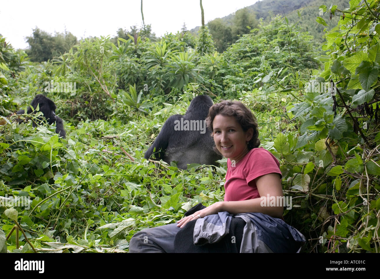 A woman holidaymaker has a close encounter with a mountain gorilla in Volcanoes National Park in Rwanda Central Africa - Stock Image
