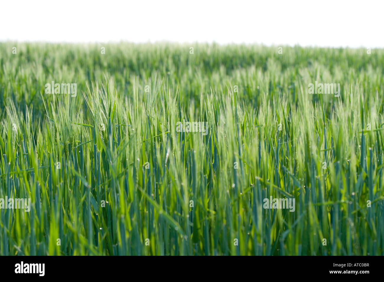 Grass growing in rural field - Stock Image