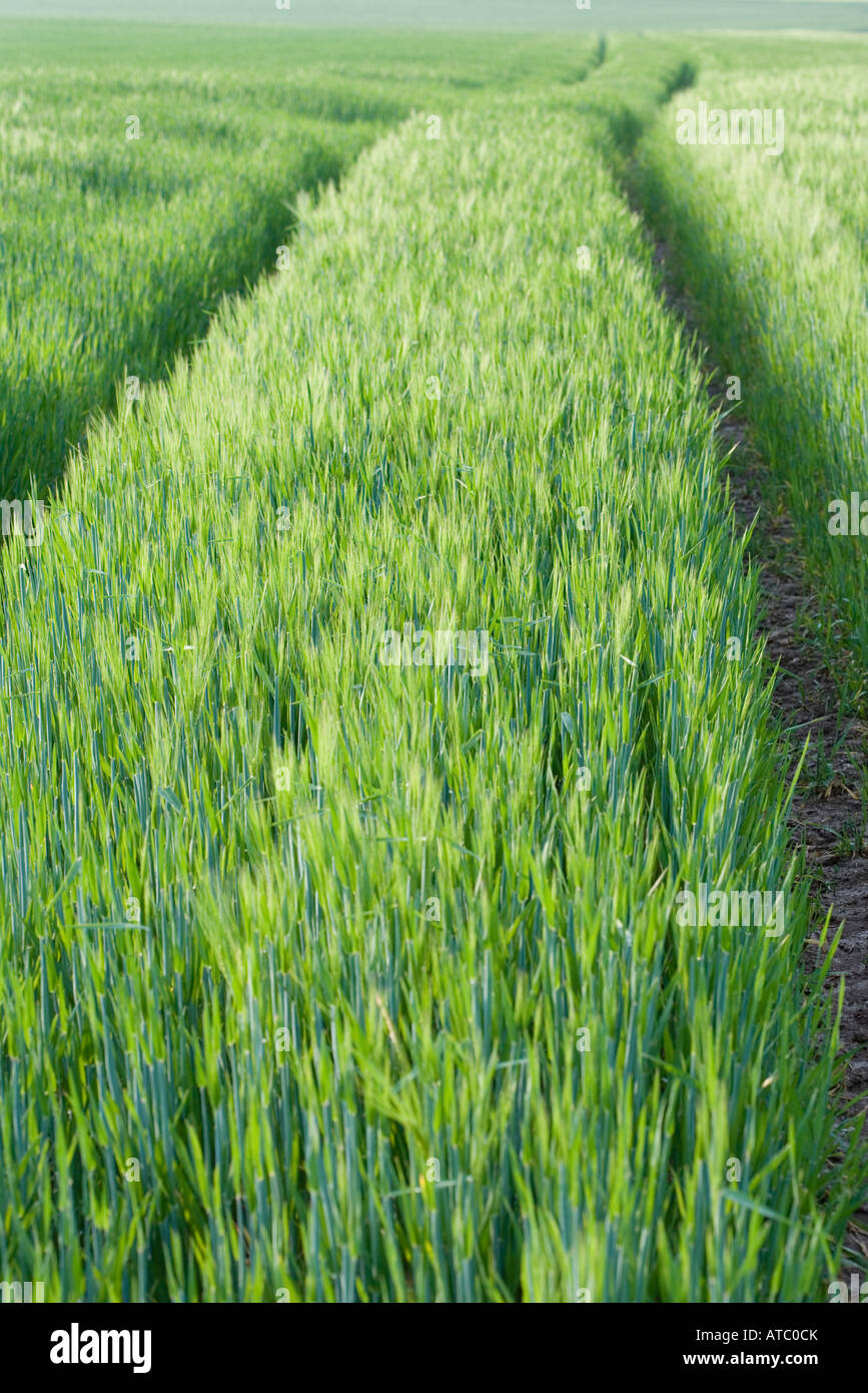 Tire tracks in field of grass - Stock Image