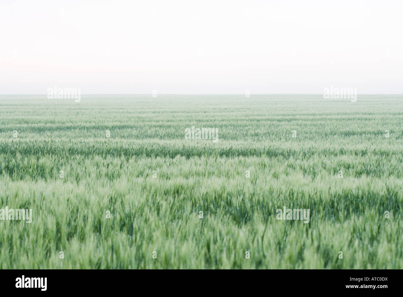 Wheatfield, horizon in background - Stock Image