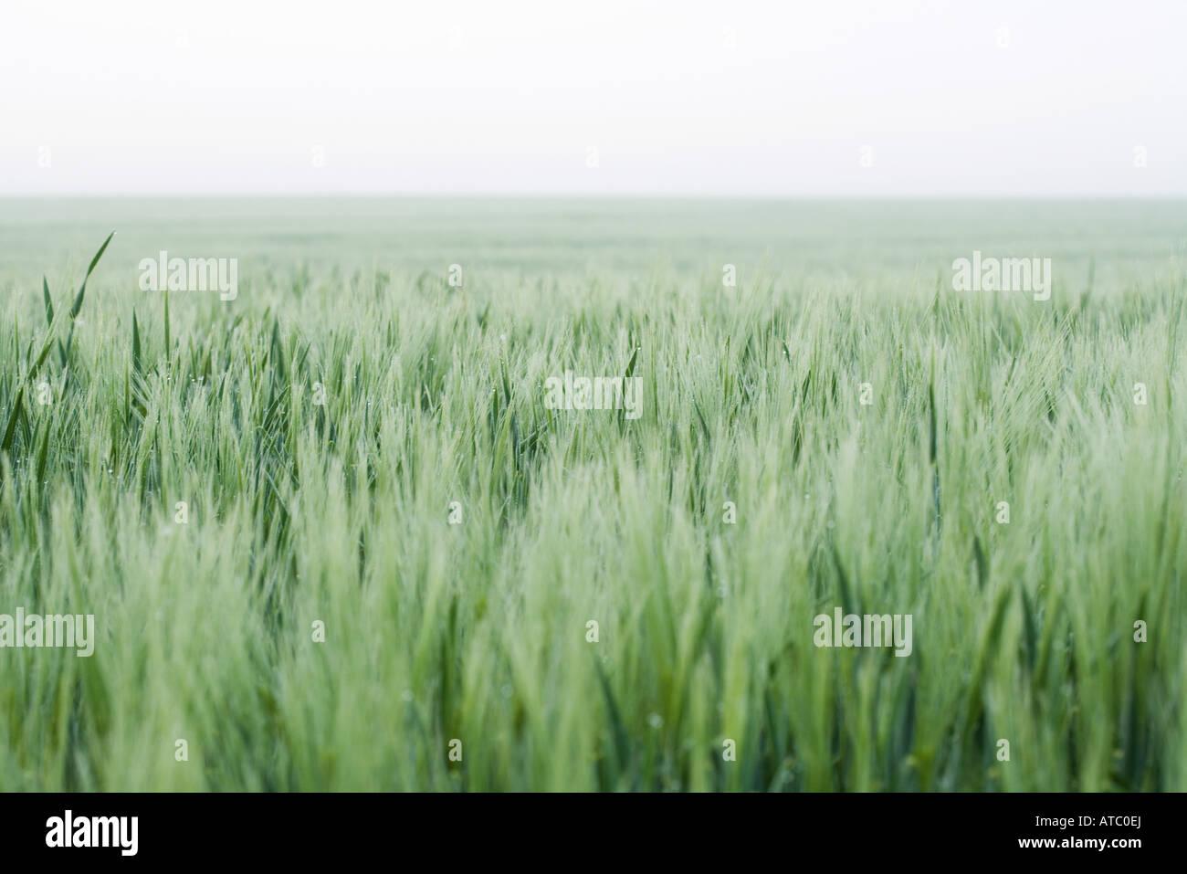 Wheatfield, horizon in background - Stock Image