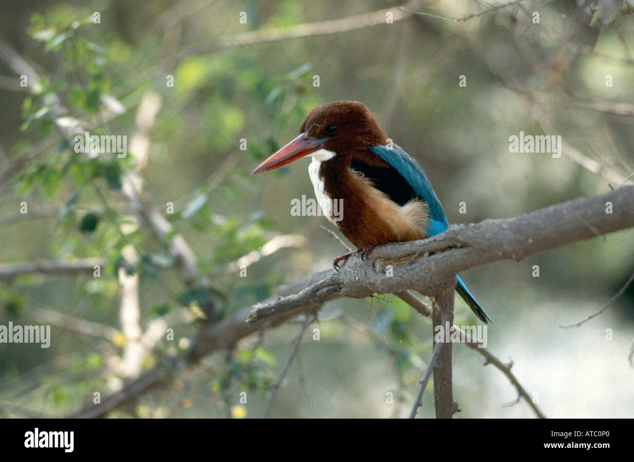 A kingfisher perched on a branch in the Bharatpur Keoladeo Ghana Bird Sanctuary a World Heritage site which was set up in 1956 by Maharaja Brajendra Singh - Stock Image
