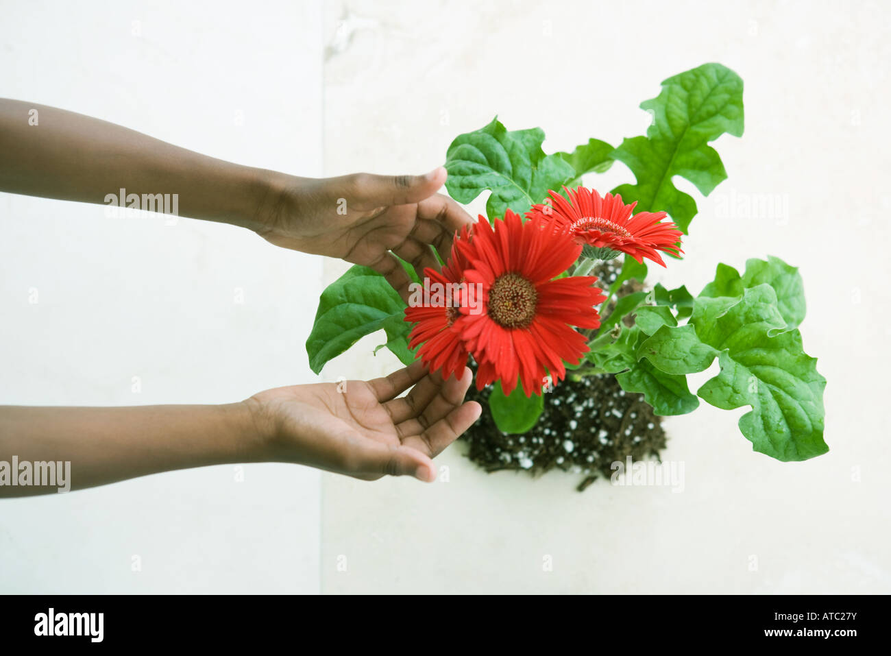 Hands touching gerbera daisies, viewed from directly above - Stock Image