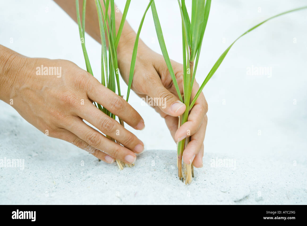 Hands holding dune grass growing in sand, close-up - Stock Image