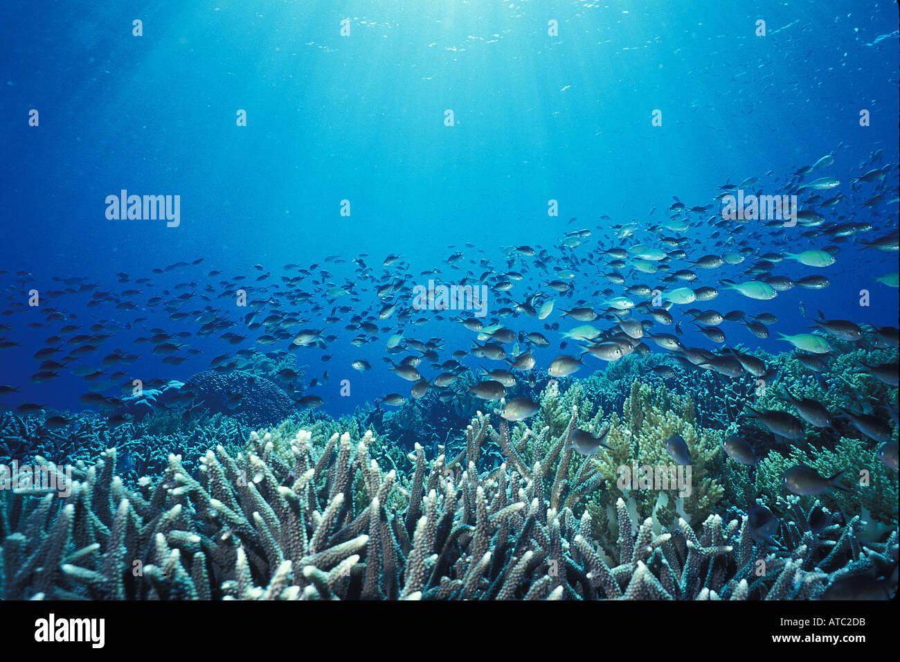Bluegreen Chromis - Stock Image