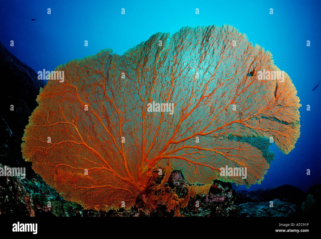 Gorgonien Fan Similan Islands Thailand Stock Photo