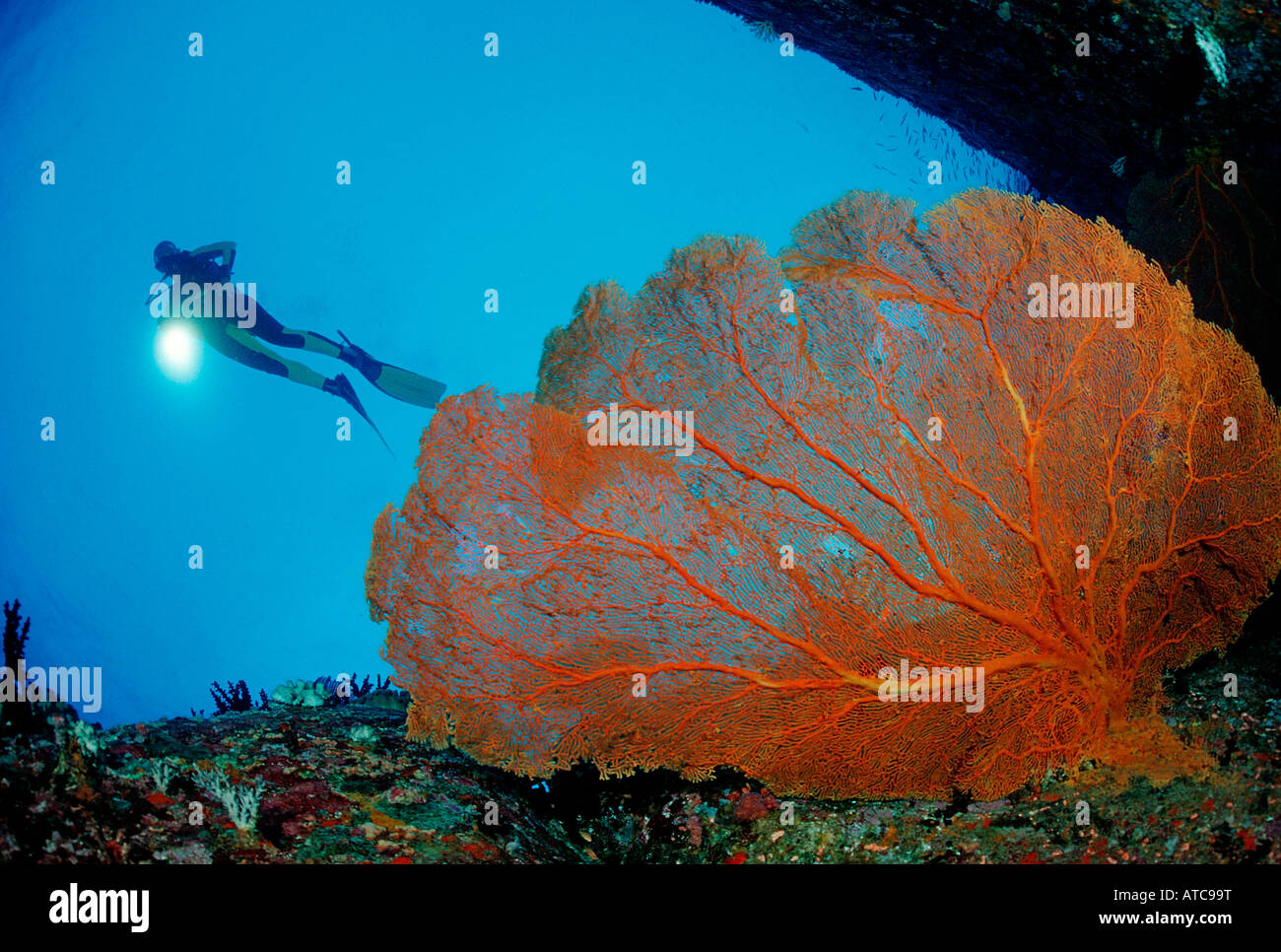 Diver and Red Sea Fan Similan Islands Thailand Stock Photo