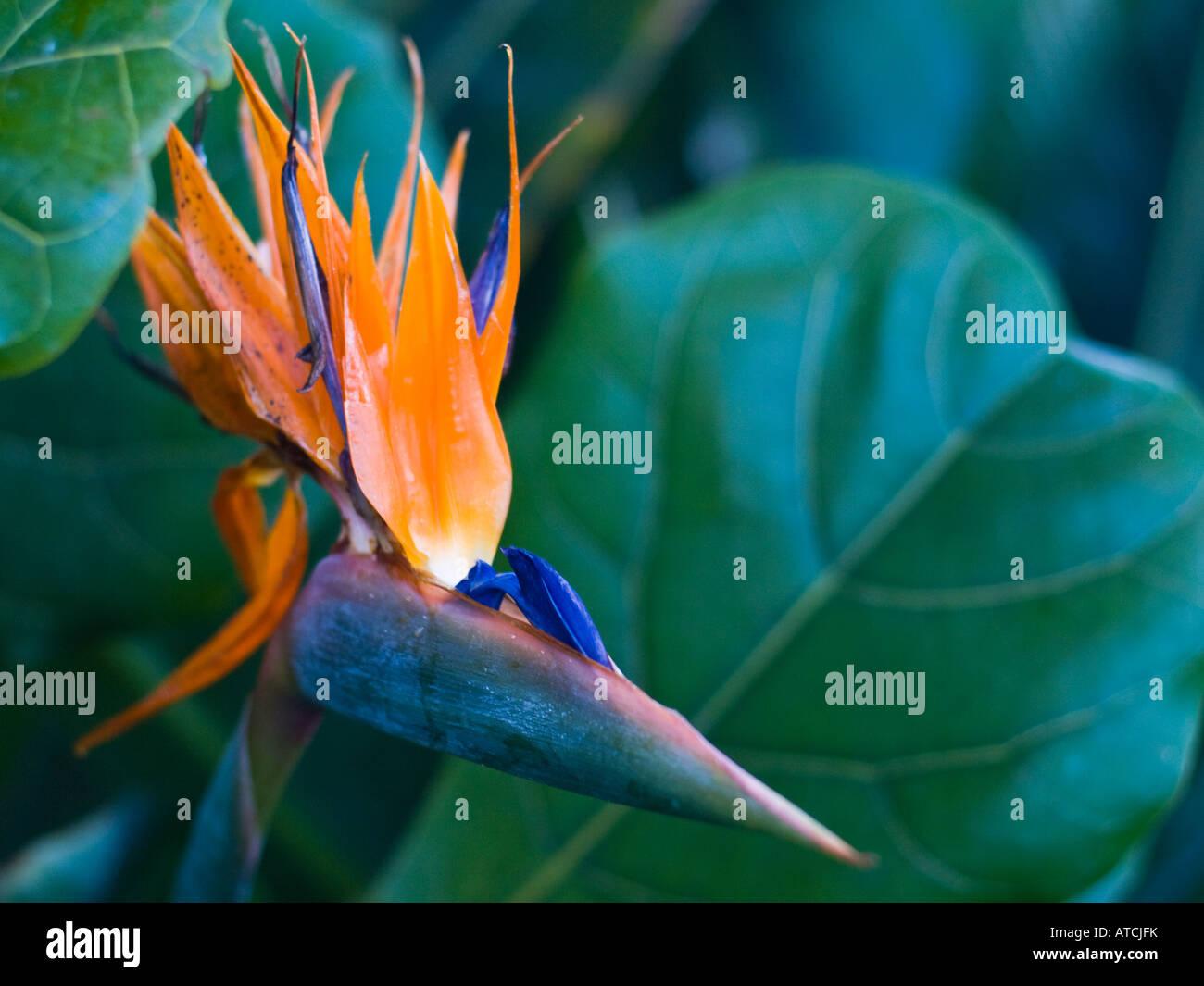A Bird of Paradise flower. - Stock Image