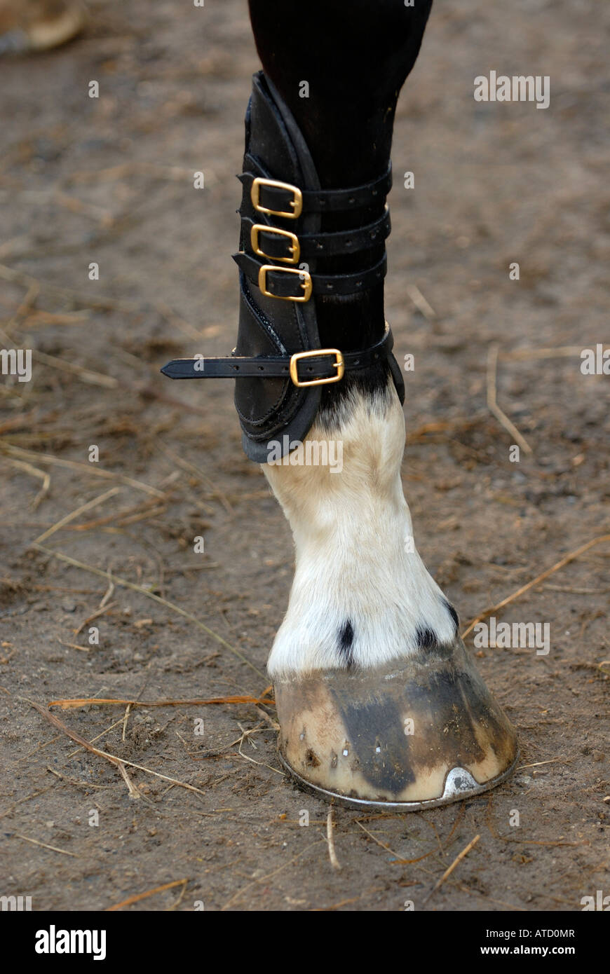 a horse pony wearing tendon boots socks gaiters to protect and support lower legs from injuries or injury while - Stock Image