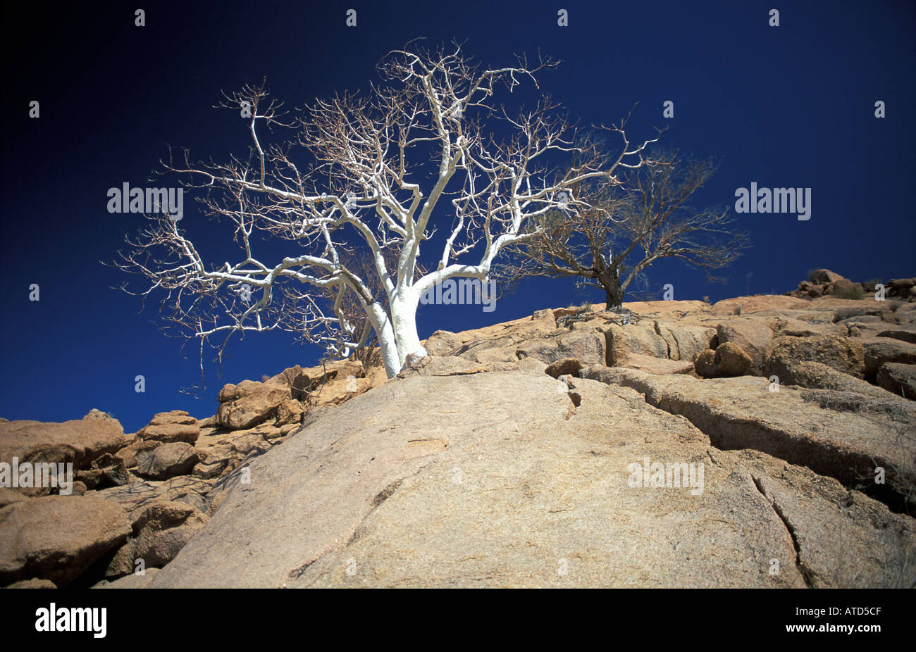 Petrified tree stands in stark contrast to its environment Namibia en route to Opuwo via Palmwag - Stock Image