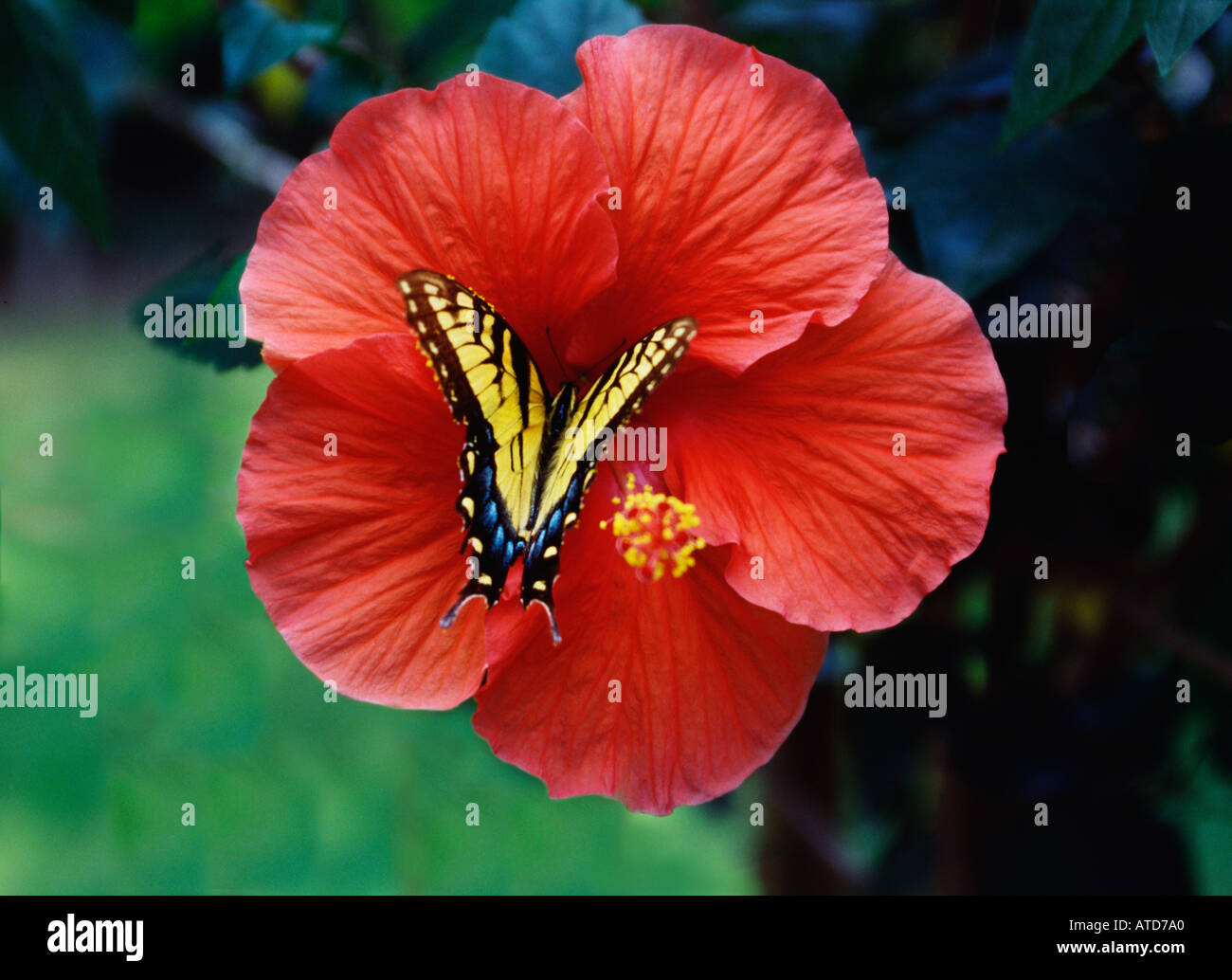 Monarch Butterfly On Brilliant Red Hibiscus Flower Stock Photo