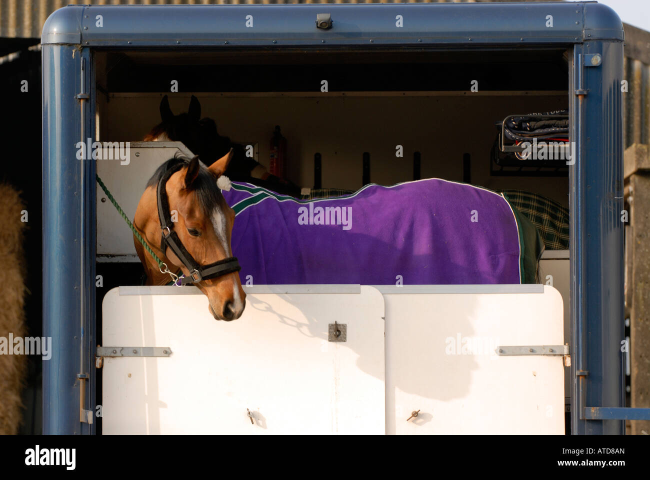 a horse in a horsebox wearing a rug and peering looking over the back doors of the open lorry after being transported - Stock Image