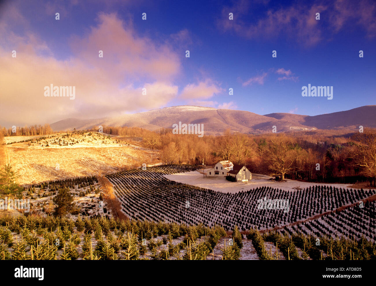 Snow Covered Christmas Tree Farm In The Blue Ridge Mountains
