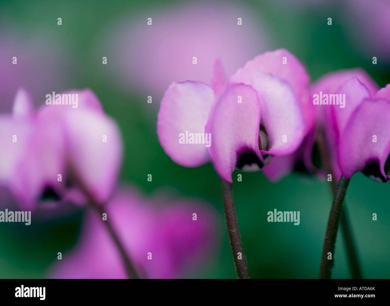 Flowering Cyclamen - Stock Image