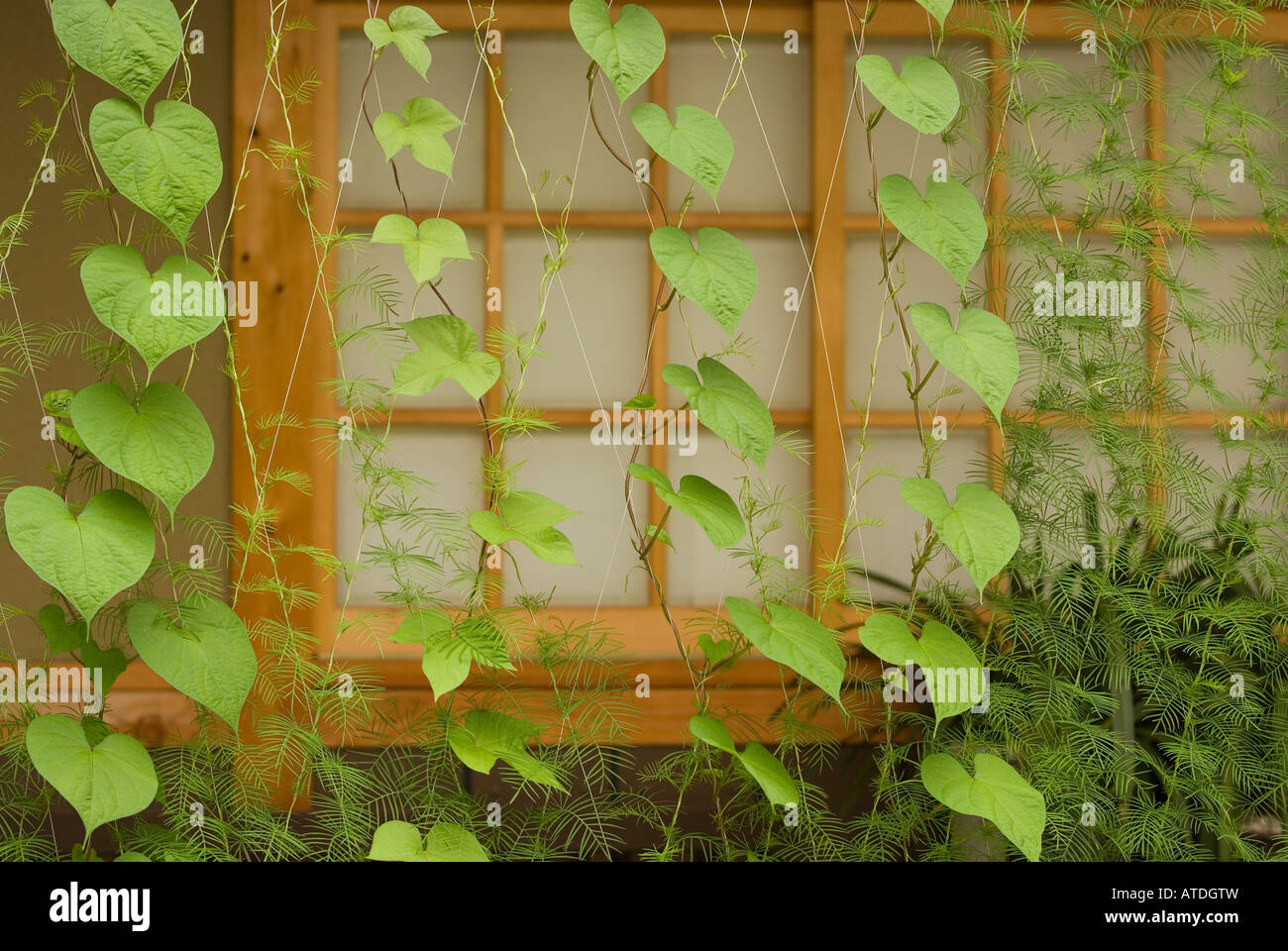 Creeper Plant Stock Photos & Creeper Plant Stock Images - Page 2 - Alamy
