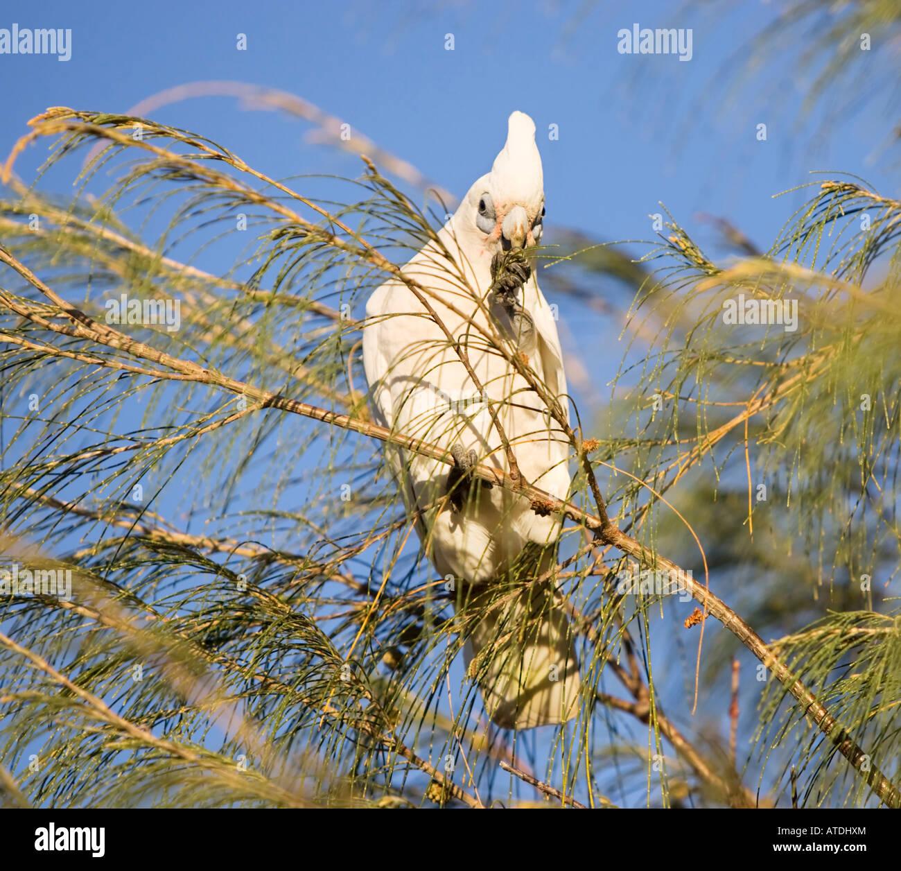 A Little Corella Cockatoo (Cacatua sanguinea) eating a nut in a sheoak tree. Perth, Australia - Stock Image
