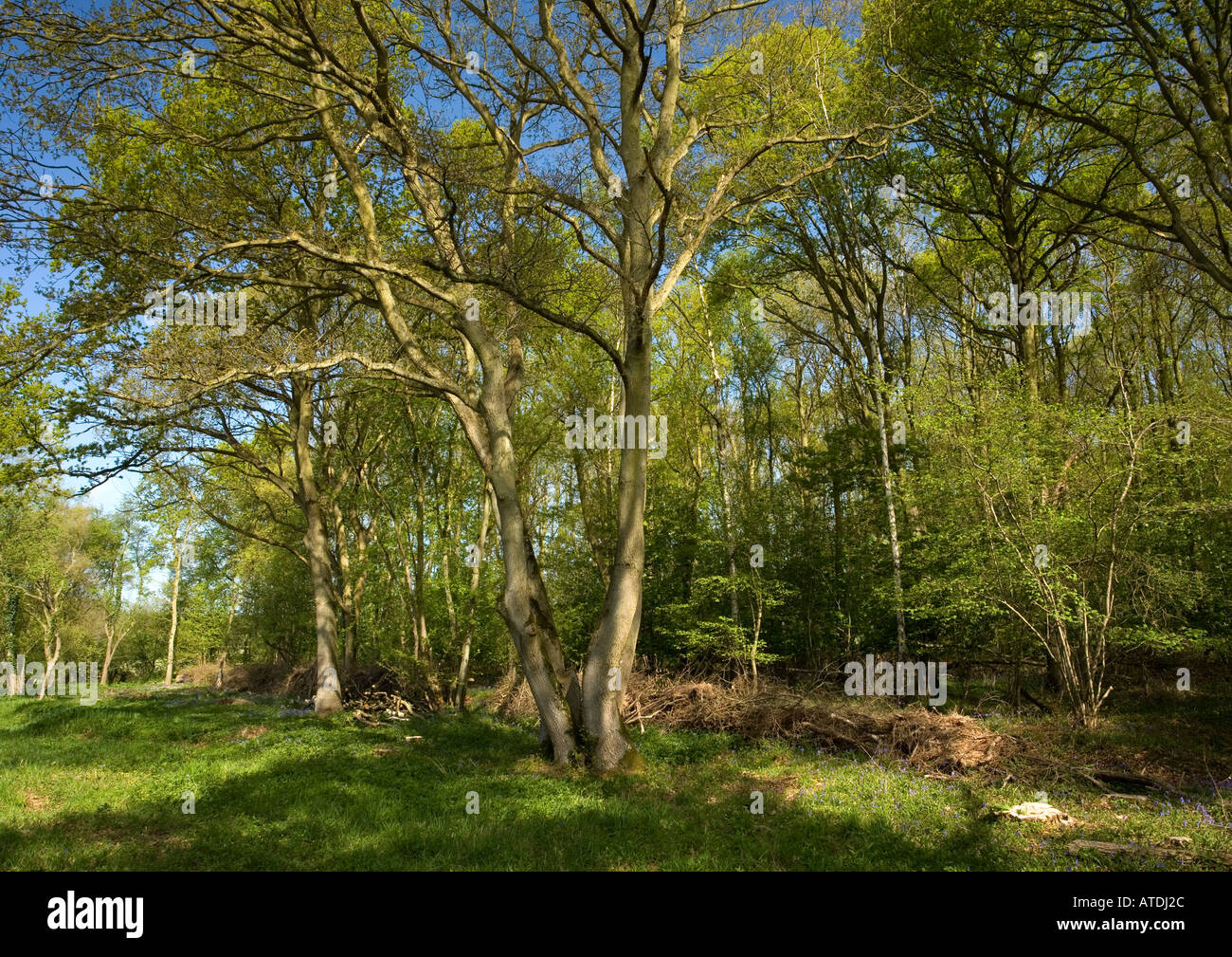 Ancient woodland at Wakerley Spinney SSSI Wakerley Great Wood Part of Rockingham Forest, Northamptonshire, England - Stock Image