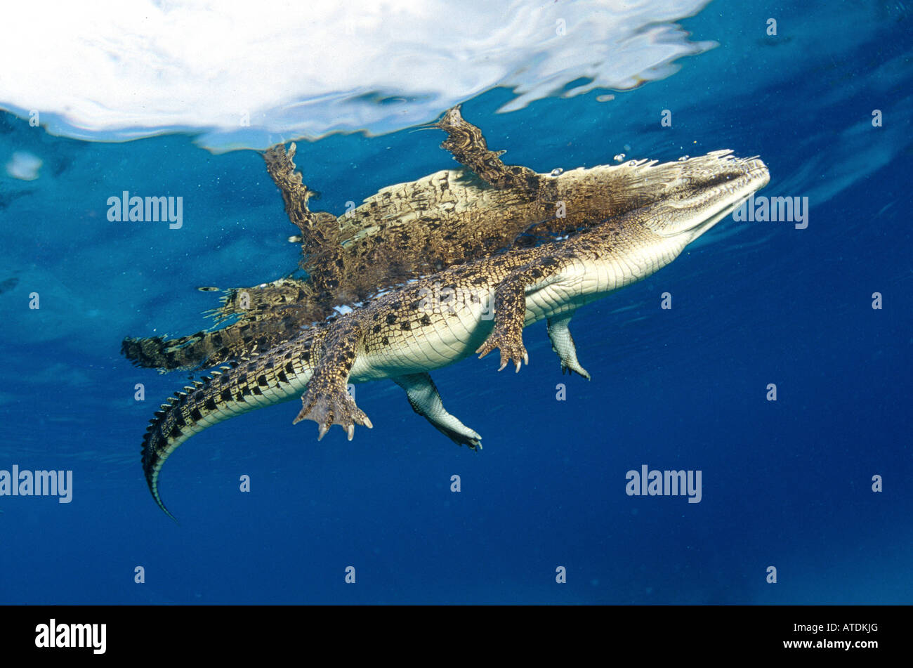 Saltwater Crocodile Crocodylus porosus Bismarc Sea Papua New Guinea - Stock Image