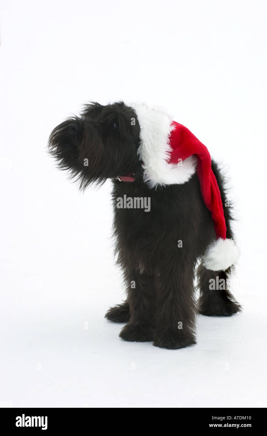 Young black mini Schnauzer with Santa hat on a white background - Stock Image
