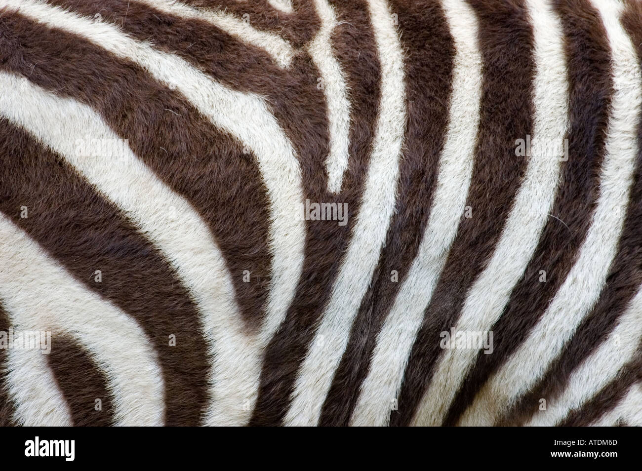 Zebra stripes - Stock Image
