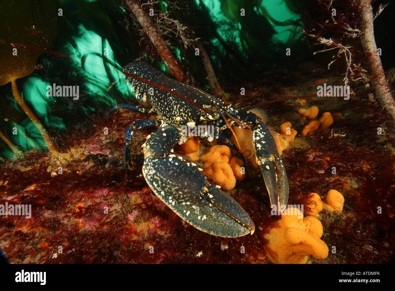 Common Lobster Homarus gammarus Valentia Island Atlantic Ireland - Stock Image