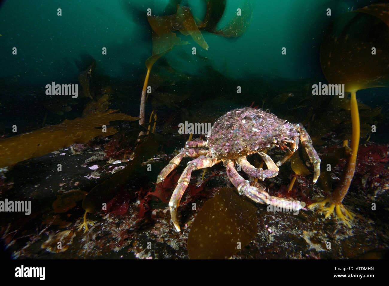 Atlantic Spider Crab Maja brachydactyla Valentia Island Atlantic Ireland - Stock Image