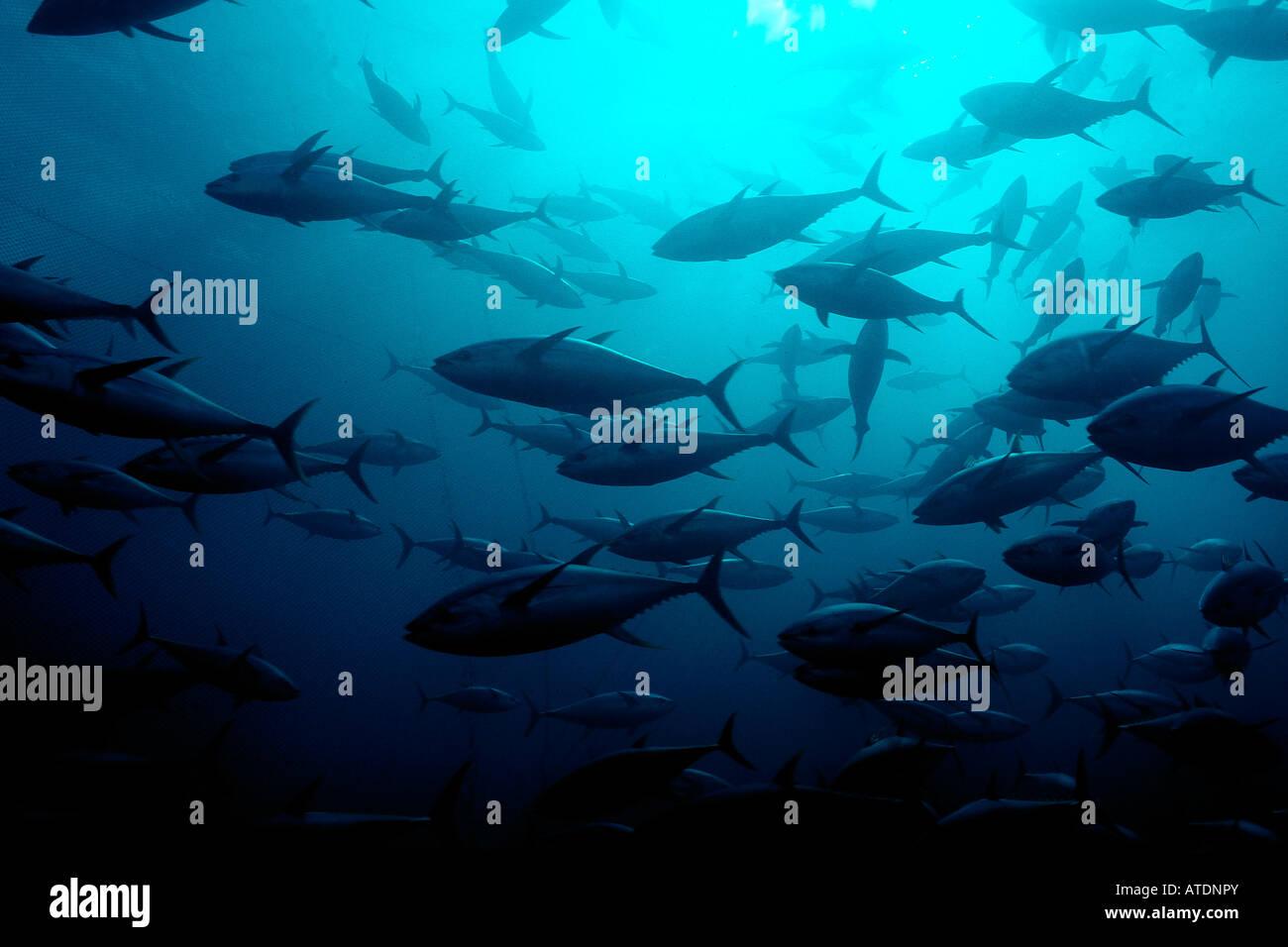 Yellowfin tuna Thunnus albacares Mexico Pacific Ocean - Stock Image