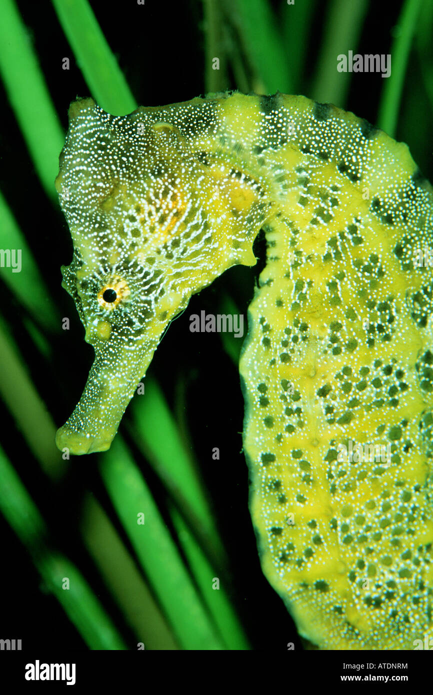 Pacific seahorse Hippocampus ingens are found in the Eastern Pacific - Stock Image