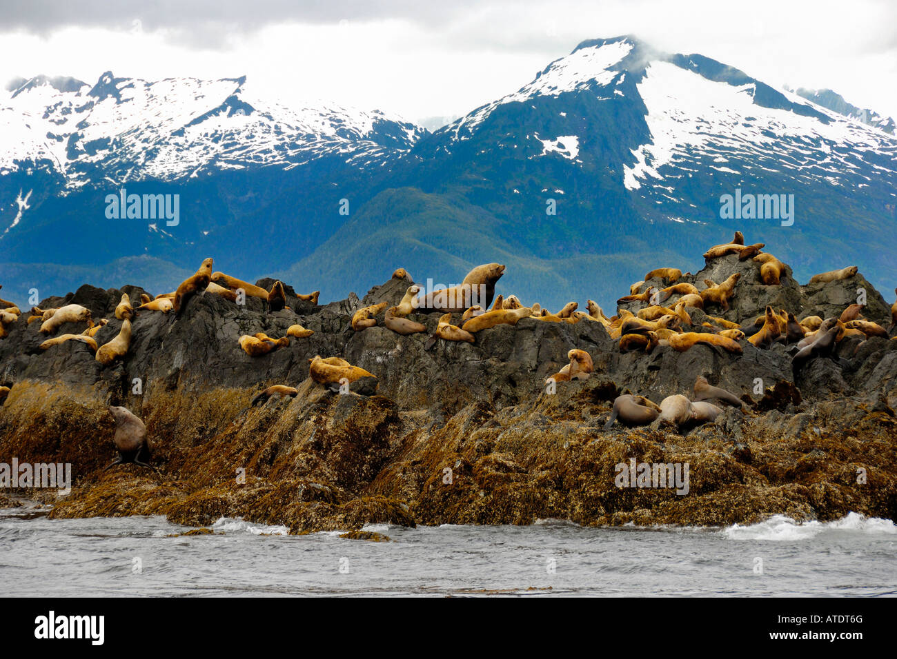 Colony of Stellar Sea Lions Eumetopias jubatus Frederick Sound Inside Passage Alaska Pacific Ocean - Stock Image